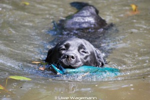 Hund beim Schwimmen im kalten Wasser – Gefahr für Wasserrute
